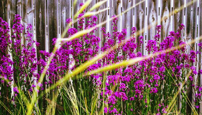 PurpleFlowers_700x400